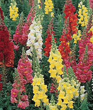Snapdragon, Double Supreme Mix, , large